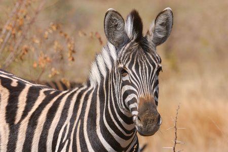 Zebra Banque d'images