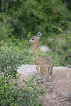 Klipspringer photo