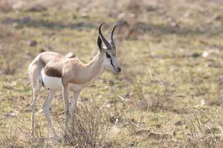 Springbok Stock Photo - 9495046