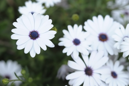 White daisies Stock Photo - 9494089