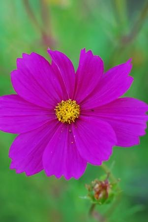 Fleur de Cosmos Banque d'images