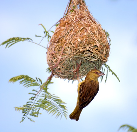 weaver bird nest: Speke weaver Stock Photo