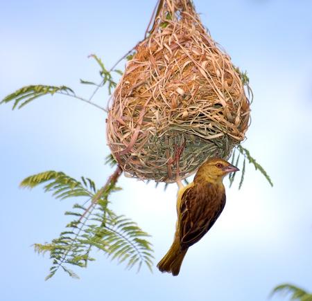 weaver bird nest: Speke weaver Stock Photo