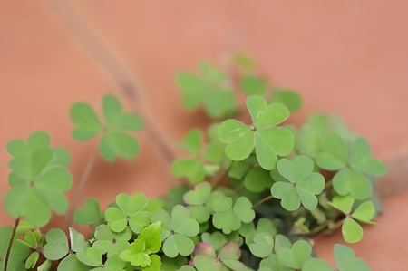 Clover leaves photo