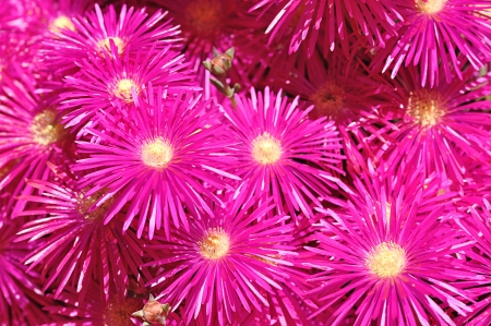 Pink vygies Stock Photo