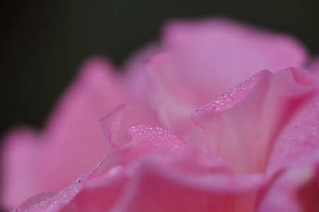 dept: A pink rose with shallow dept of field