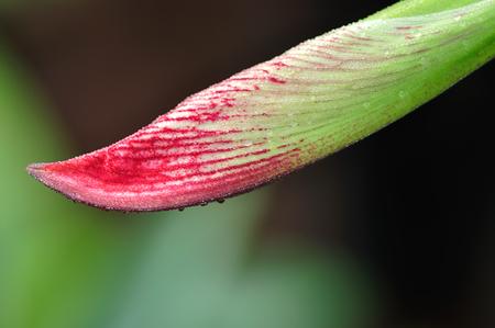 belladonna: Amaryllis blooming