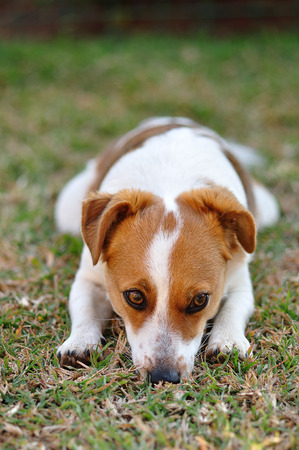 pup: A beautiful sleepy Jack Russel pup