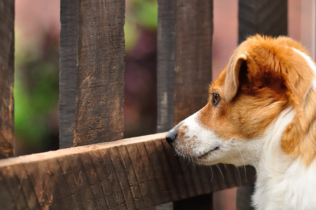 attentive: A beautiful attentive Jack Russel pup