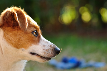 pup: A beautiful attentive Jack Russel pup