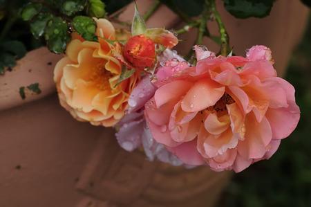 rosas naranjas: Rosas de color naranja cubierto de gotas de agua Foto de archivo