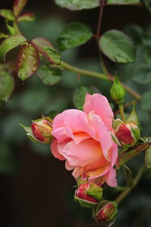 rosas naranjas: Orange roses covered with water drops