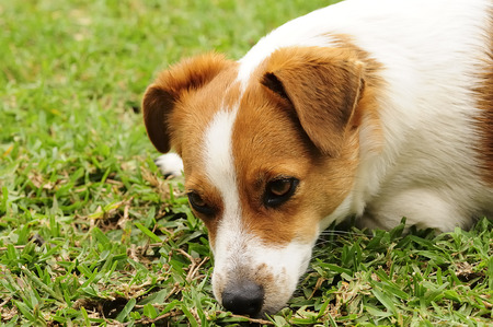 A Jack Russell puppy Stock Photo