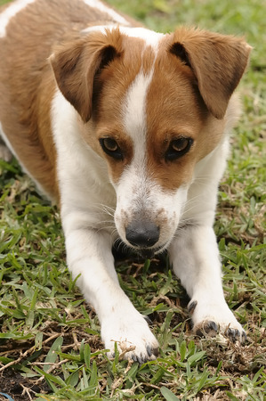 A Jack Russell puppy laying on the grass with a stone in its mouth