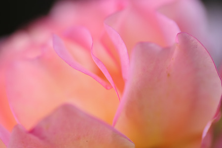 dept: Close up of a pink rose with a very shallow dept of field