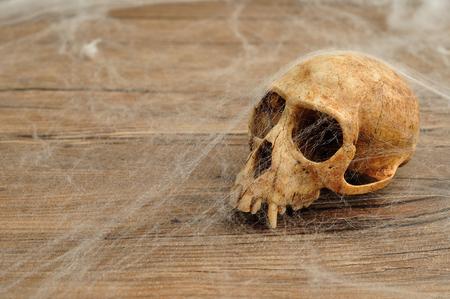 Vervet monkey skull covered with cobwebs Stock Photo