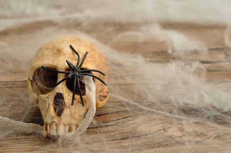 arachnids: Vervet monkey skull with a snake skin covered in cobwebs and a black spider
