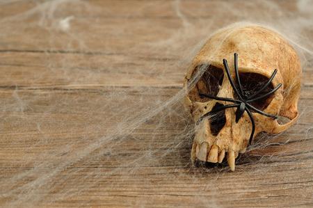 Vervet monkey skull covered with cobwebs and a black spider