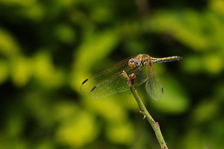 Dragon fly on a twig in a garden