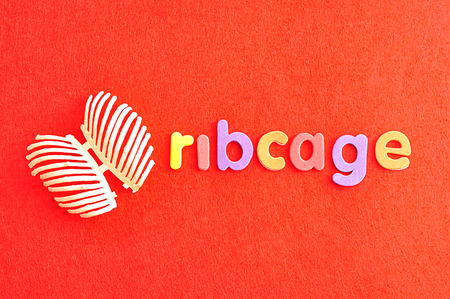 A plastic model of a human ribcage with the word ribcage isolated on a red background