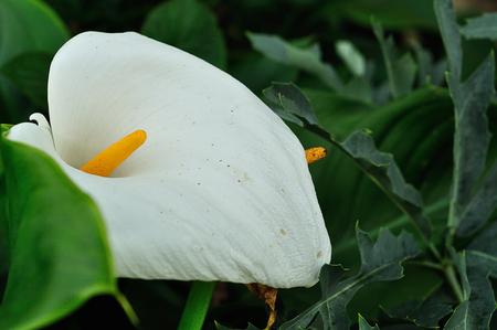 A white Arum lily in a garden