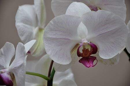 White orchids with shallow depth of field 写真素材