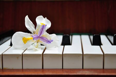 White African Iris with Purple and Yellow Center on piano keys