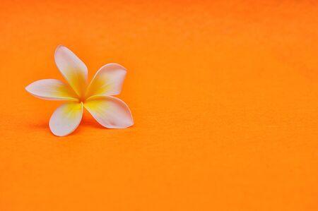 A single Frangipani flower on an orange background