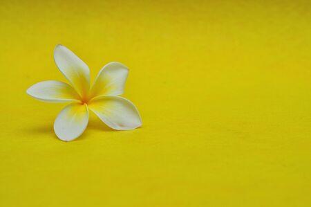 A single Frangipani flower on a yellow background Stock Photo