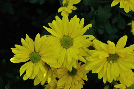 Yellow asters in a garden Stock Photo