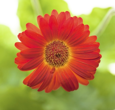 Gerbera on the green background Stock Photo - 9057509
