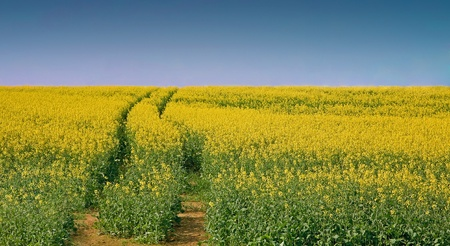 Landscape with yellow rapeseed under clear blue sky