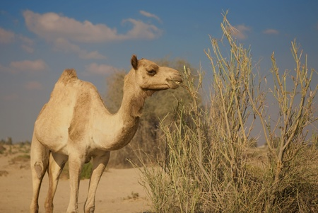 Camel eating in the desert photo