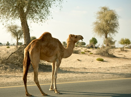 Camel on the road photo