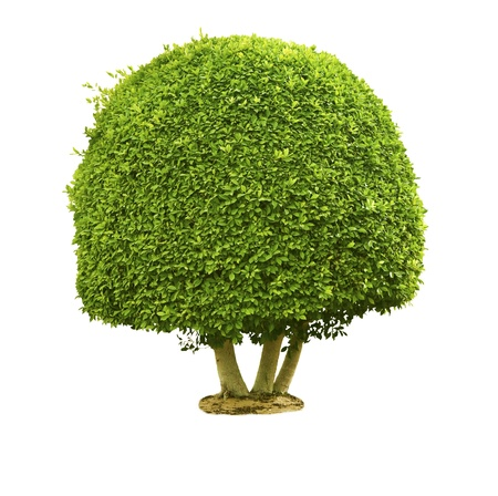 Green tree isolated on the white background Stock Photo - 9849296