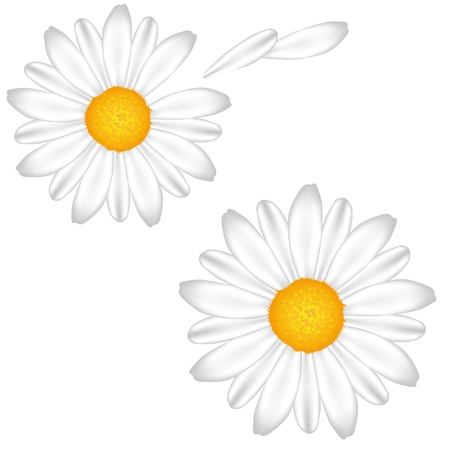 Chamomile. White background. Gradient and mesh.  Vector