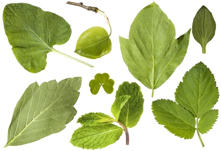 Green leaf. Set. Eight leaves isolated on a white background photo