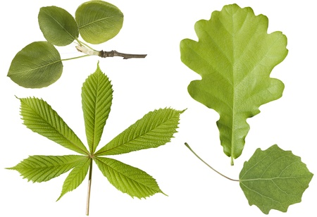 Green leaf. Set. Four  leaves isolated on a white background Stock Photo - 9965285