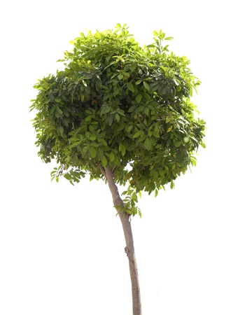 Green tree isolated on the white background Stock Photo - 9964976