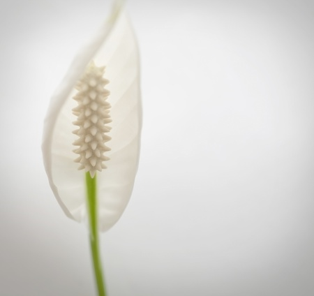 Calla lily on the white background photo