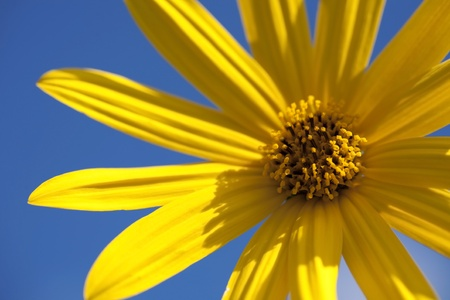 Yellow flower closeup on the blue sky background photo