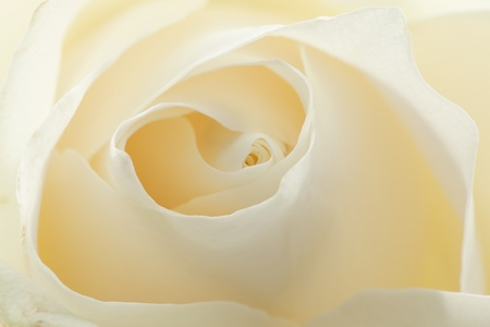 Beautiful  white rose background Stock Photo - 10446744