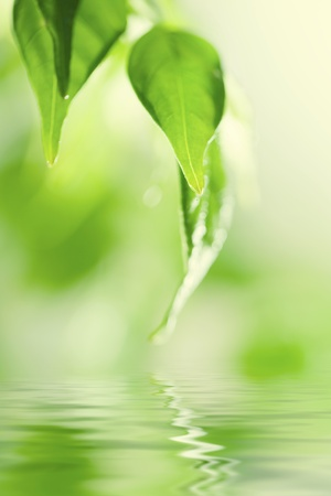 Green fresh leaves over water Stock Photo - 11884730