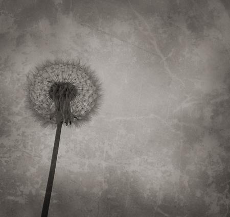 Dandelion on the grundy old background photo