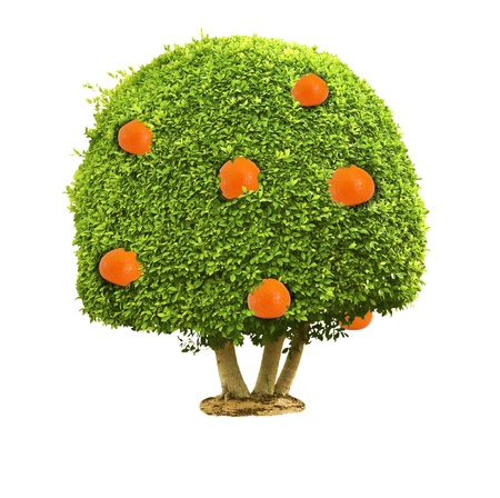 Green tree with orange fruits isolated on the white background Stock Photo - 13071488
