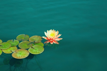 Water lily Stock Photo - 13510951