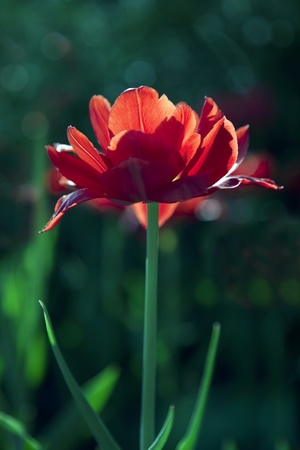 Red tulip in sunny day  Shallow focus photo