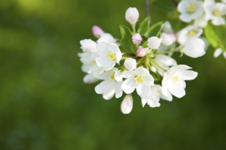 Apple tree blossom  Soft green background photo