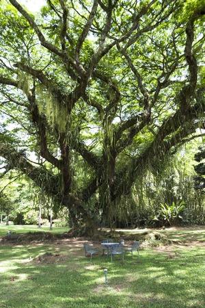 cafe colombiano: Un �rbol de la lluvia en la zona cafetera colombiana