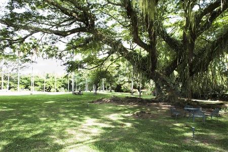 cafe colombiano: un árbol de la lluvia en la zona cafetera colombiana